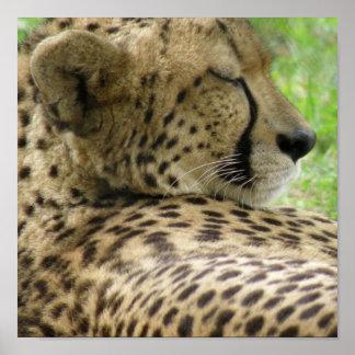 Cheetah Sleeping Print