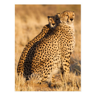 Cheetah, Two males Postcard