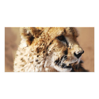 Cheetahs beauty in Africa Picture Card