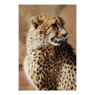 Cheetahs beauty in Africa Poster