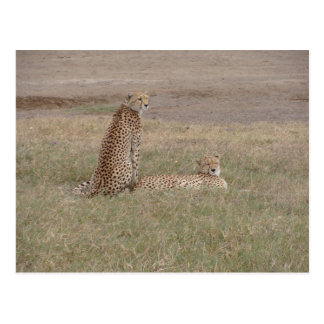 Cheetahs-Ngorongoro Crater Postcard