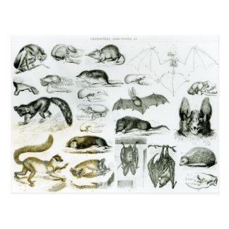 Cheiroptera, Insectivora Postcard