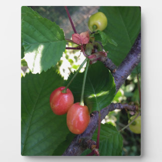 Cherries turning red plaque