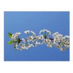 Cherry blossom  2012 Calendar Postcard