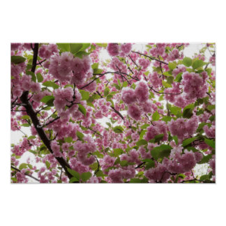 Cherry Blossom Canopy II Poster