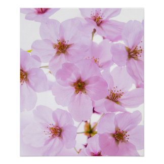 Cherry Blossom Flowers in Tokyo Japan Poster