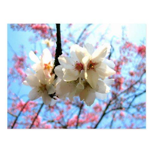 Cherry blossom - Postcard