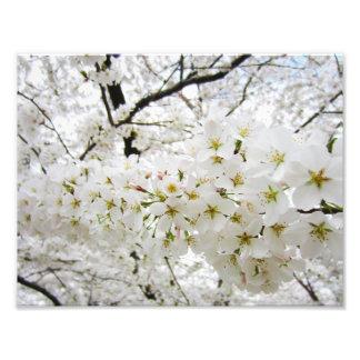 Cherry Blossoms 12 Print Photo