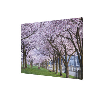Cherry blossoms along Willamette river, USA Canvas Print