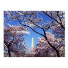 Cherry Blossoms in Washington D.C. Postcard