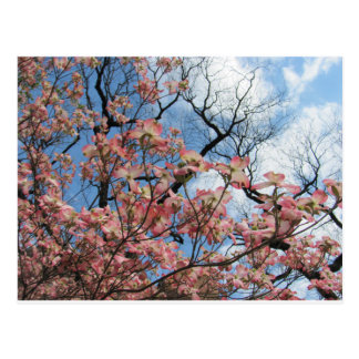 Cherry Blossoms Postcard