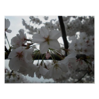 Cherry Blossoms Print Color