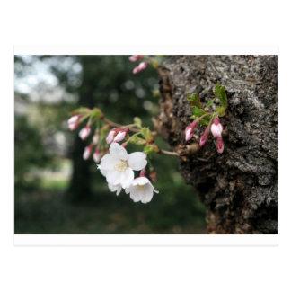 Cherry Blossoms Washington DC Postcard