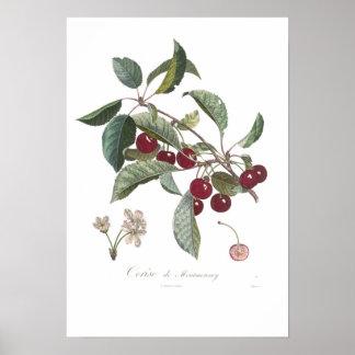 Cherry, Cerise de Montmorency Poster