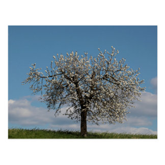 Cherry tree with blossoms postcard