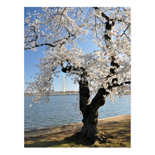 Cherry Tree with White Blossoms Postcard
