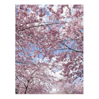 Cherry trees in blossom postcard