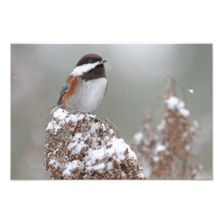 Chestnut Backed Chickadee in the Snow Photo Print