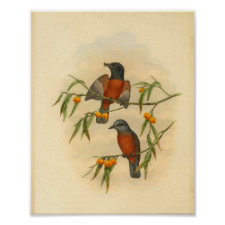 Chestnut Red Flycatcher Bird Vintage Print