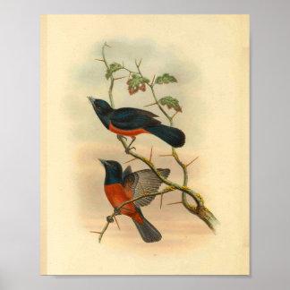 Chestnut Red Flycatcher Bird Vintage Print