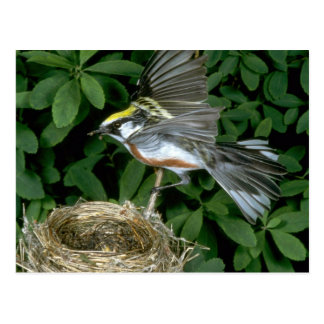 Chestnut-sided Warbler landing on nest Postcard