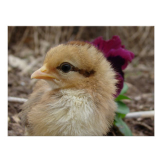 Chick and Pansy Poster