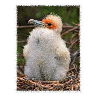 Chick galapagos postcard