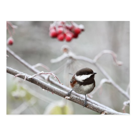 Chickadee and Red Berries in Winter Postcard