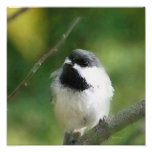 Chickadee at Rest Digital Painting Poster
