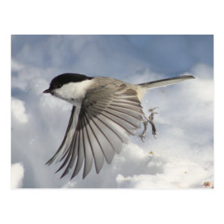 Chickadee in Flight Postcard