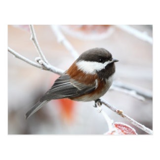 Chickadee in Winter Postcard