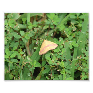 Chickweed geometer moth Photo Print
