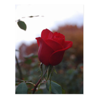 Chico Rose Postcard