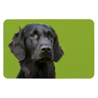Chien enduit plat de chien d'arrêt, portrait noir magnets rectangulaire