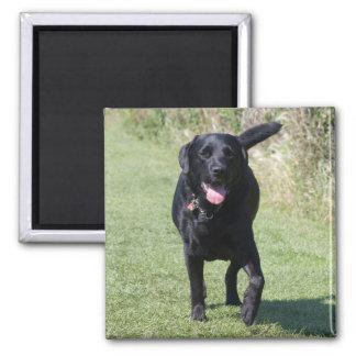 Chien noir de labrador retriever, belle photo aimants