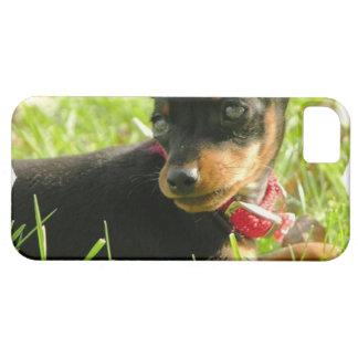 chihuahua-13 iPhone 5 covers