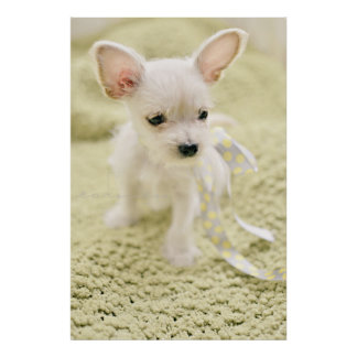 Chihuahua And Maltese Puppy Poster
