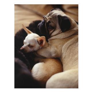 Chihuahua and Pug sleeping, close-up Postcard