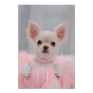 Chihuahua In Pink Poster