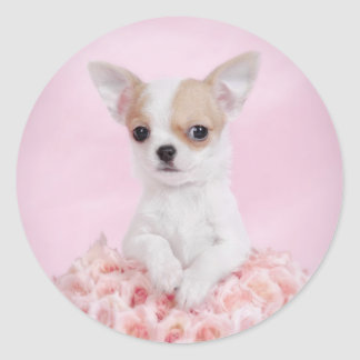 Chihuahua in pink with roses round sticker