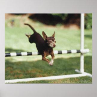 Chihuahua Jumping Hurdle Poster