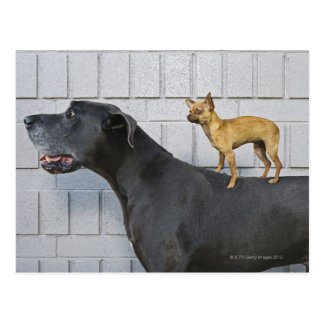 Chihuahua on Great Dane's back Postcard