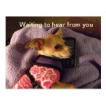 Chihuahua on phone Card Postcard