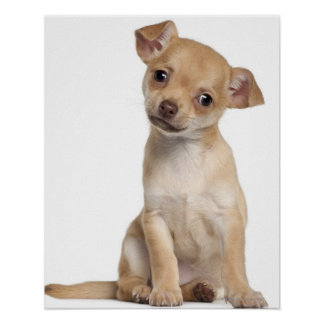 Chihuahua puppy (2 months old) print