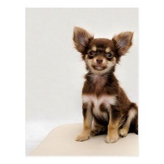 Chihuahua Small Dog Postcard