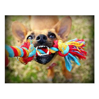 Chihuahua Tug O War Postcard