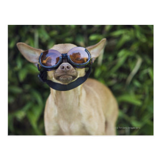 Chihuahua wearing goggles postcard