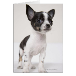 Chihuhua puppy standing on white fabric card