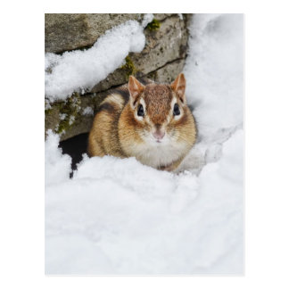 Chilly Little Chipmunk in the Snow Postcard