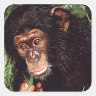 Chimpansee Square Sticker
